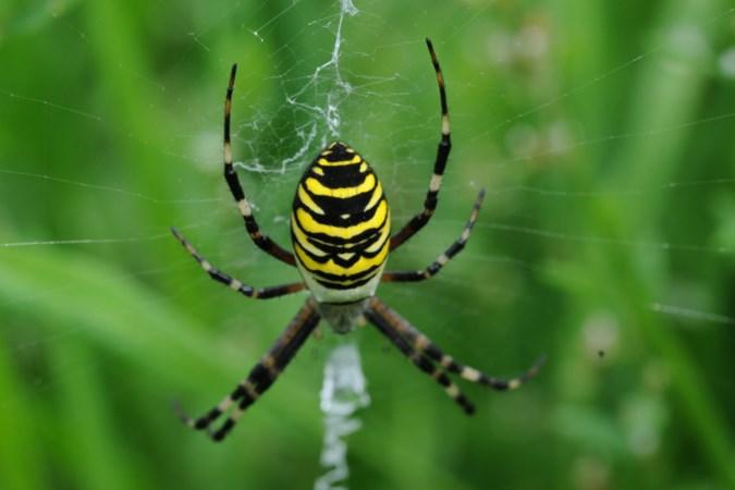 Help, het is weer spinnentijd, hoeveel spinnen zitten er in jouw huis?
