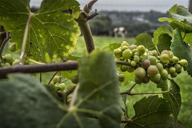 Wandelroute langs de wijngaarden en distilleerderij van Noorbeek