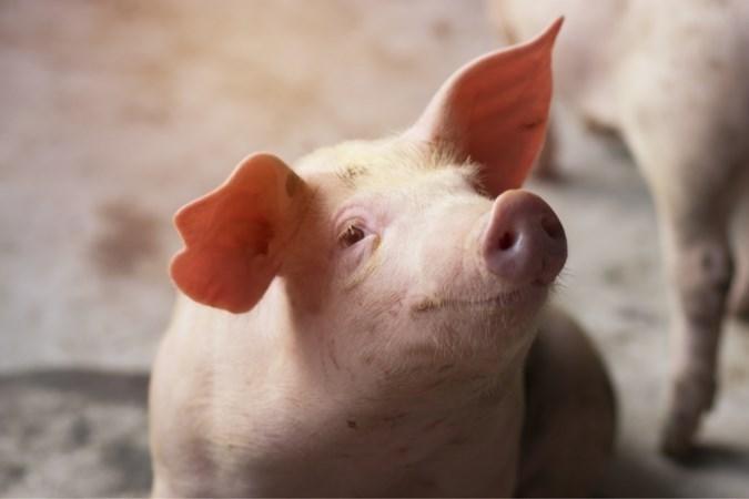 Zorgen bij Limburgse varkenshouders over varkenspest in Duitsland