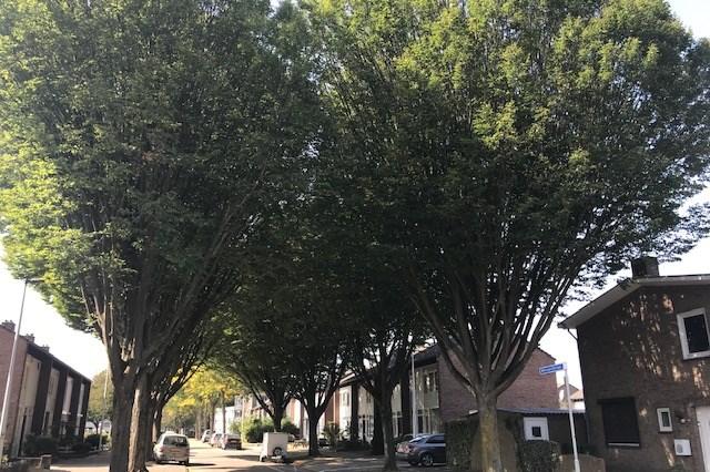 In Maastricht worden 152 zieke of slechte bomen vervangen