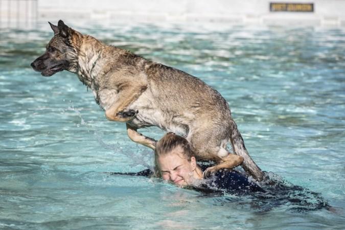 Trouwe viervoeters duiken in Montfort het zwembad in: 'Tot aan de tietjes, dat vindt ze ver genoeg'