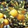 Yuzu: Japans citrusgenot van de wondervrucht