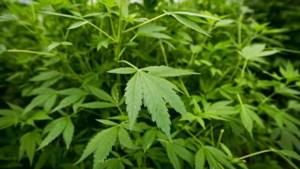 Dikke 900 wietplanten gevonden in Brunssumse bedrijfswoning