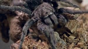 In 90 seconden: kruipen er weer overal spinnen door je huis? Fabeltjes en weetjes over spinnen op een rij