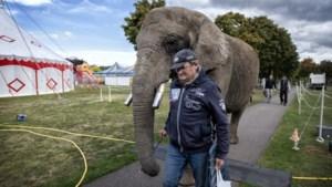 Animal Rights wil olifant Buba zo snel mogelijk van Beringe naar Frankrijk verplaatsen