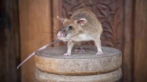 Rat krijgt medaille voor opsporen van landmijnen in Cambodja