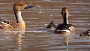 Fluiteenden geboren in de Flamingo Volière van GaiaZOO