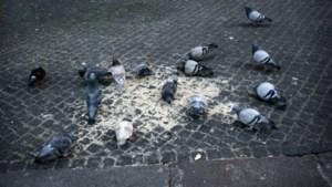 Overlast door duiven, eenden, ratten en muizen leidt tot breed voederverbod in Heerlen