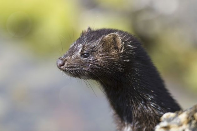 Coronabesmetting op nertsenbedrijf in Neer: 4.000 dieren geruimd
