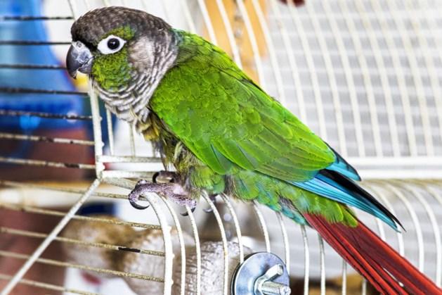 En hop, daar ging papegaai Sjarel, uit het raam op zes hoog in Maastricht