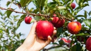 Stichting IKL deelt gratis hoogstamfruitbomen uit aan inwoners van Maasgouw