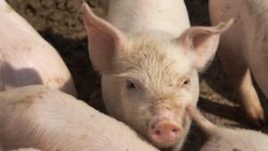 Les over varkens in Urmond dit jaar niet in de stal maar in het klaslokaal