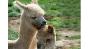 Tanja Linders uit Ransdaal: 'Elke dag met deze schatjes van alpaca's is voor mijn man en mij één groot feest'