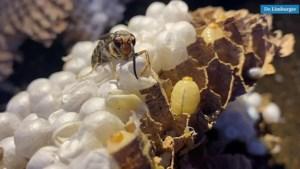 Vlaanderens grootste nest van 'monsterwespen' verdelgd in Opgrimbie