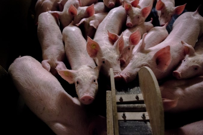 Varkenshouder wil nieuwe stal naar de rand van Ospel 'verplaatsen'
