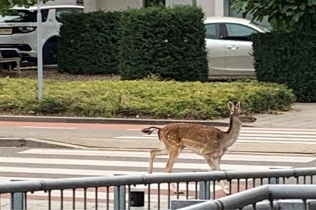 Damhert aan de wandel in woonwijk Maastricht