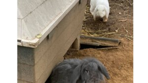Konijnen gestolen bij dierenweide in Elsloo, eentje dood