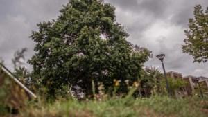 Omstreden Settela-eik in Buchten eindigt als vierde in landelijke boomverkiezing