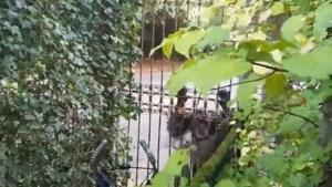 Twee chimpansees ontsnapt in DierenPark Amersfoort, beide dieren doodgeschoten