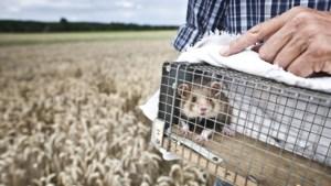 Rode lijst: hoop over terugkeer otter in Limburg, zorgen blijven over korenwolf