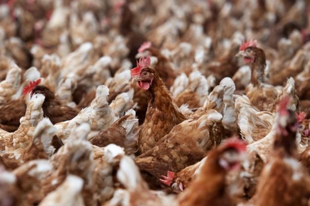 Ruimingen na vaststellen vogelgriep bij pluimveebedrijf in Gelderland