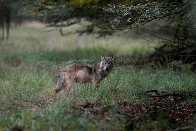 Projectgroep Limburg voor preventie wolvenschade en voorlichting over wolven