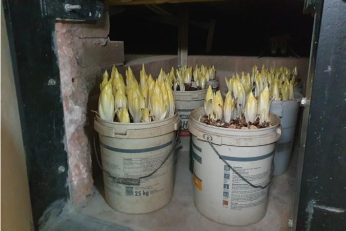 Bewoonster van huis met 'witlofplantage' in Geleen overrompeld door alle aandacht: 'We noemen het nu gekscherend maar wietlof'