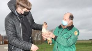 Zeldzame, grote zaagbekken uit de lucht geschoten in Belgische grensplaats