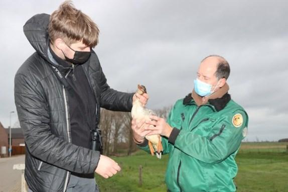 Zeldzame grote zaagbekken uit de lucht geschoten in Belgische grensplaats