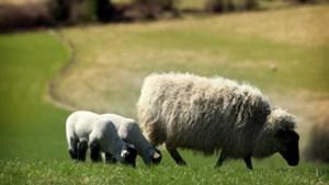 Acht dode schapen in buitengebied Afferden