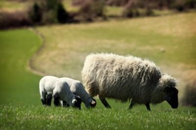 Acht dode schapen in buitengebied Afferden, mogelijk gedood door wolf