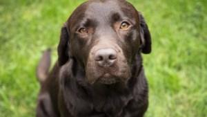 Labrador Roxy uit Herten is een 'mattie', mascotte, collega en een lot uit de loterij in één