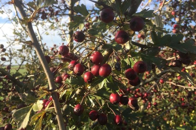 Mens & Natuur: Genoeg bessen te eten, maar nog niemand heeft echt trek