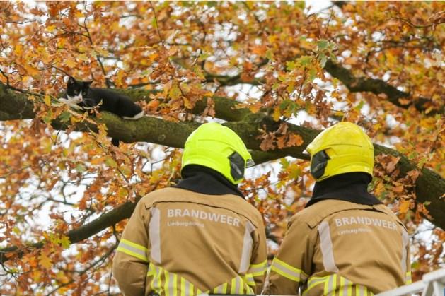 Poes Siepie na dagen vast in boom gered door de brandweer