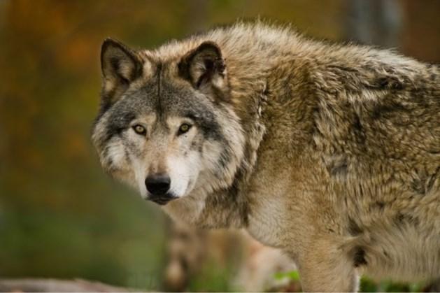 Vestiging van een wolf vlak over provinciegrens nu vastgesteld