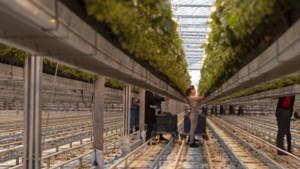 Huisvesting voor veertig arbeidsmigranten bij komkommer- en aardbeienkweker in Grashoek