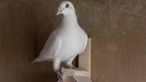 Trouwe duif Sproet uit Swalmen heeft een aangeboren gps