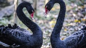 Yvonne uit Limbricht adopteerde een zwarte zwaan in Kasteelpark Born