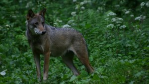 DNA-onderzoek wijst uit: wolf was verantwoordelijk voor dode schapen in Afferden