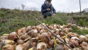 Meer dan 10.000 bloembollen de Schinveldse grond in