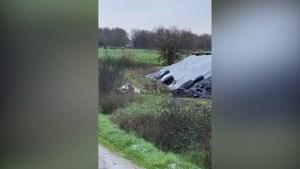Video van wolf die dode koe eet in 'Belgisch-Limburg' komt uit… Spanje