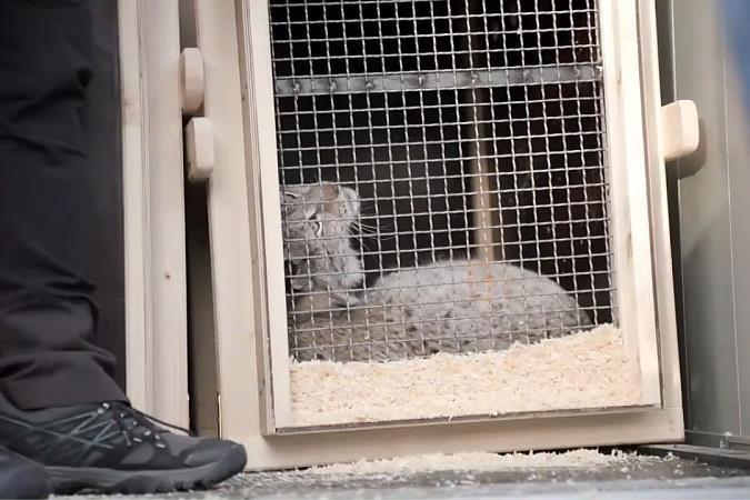 Zeven lynxen, kaaimannen en slangen verhuizen van Litouwen naar Natuurhulpcentrum in Opglabbeek