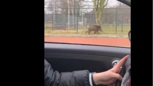 Video: Wild zwijn rent door bebouwde kom Brunssum