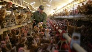 Boeren met vrije uitloopkippen vrezen financiële ramp door aanhoudende vogelgriep