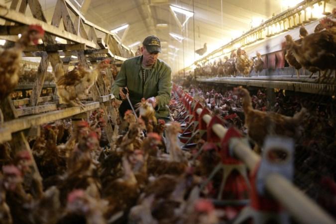 Boeren met vrije uitloopkippen vrezen financiële ramp als  ophokplicht langer gaat duren door aanhoudende vogelgriep