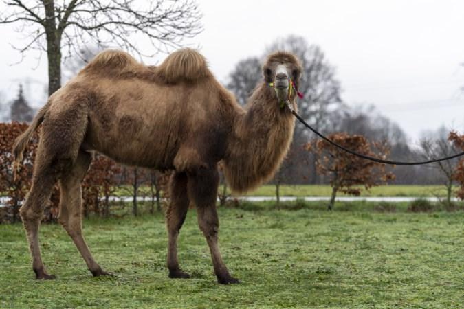 Voor kameel Obama in Kelpen gaan de mensen op de rem