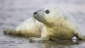 Kraamkamer in de Waddenzee: grijze zeehondjes geboren