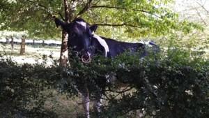 Gulpen-Wittem wil meer bomen in weilanden als schaduwplek voor koeien