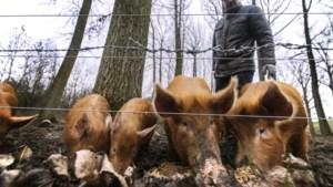 Deze varkens helpen bierbrouwerij in Stein van graanresten af en belanden uiteindelijk op de menukaart
