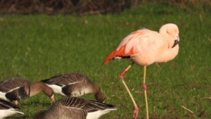 Flamingo Pinky verkleurt in Noord-Limburg van grijs naar roze